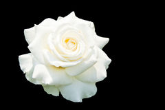 White roses isolated on black background Stock Photography