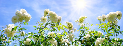 White roses isolated on blue sky. Stock Photo