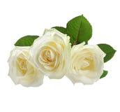 White roses isolated on white. Three white roses isolated on white Royalty Free Stock Photo