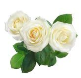 White roses isolated on white. Three white roses isolated on white Royalty Free Stock Photos