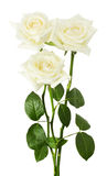 White roses isolated on the white background Stock Images