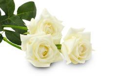 White roses isolated on the white background Royalty Free Stock Image