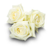 White roses isolated on the white background Royalty Free Stock Images