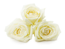 White roses isolated on the white background Royalty Free Stock Photography