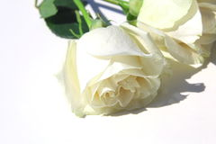 White roses isolated on white Royalty Free Stock Photos