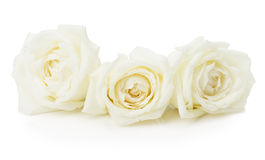 White roses isolated on the white background Royalty Free Stock Photo