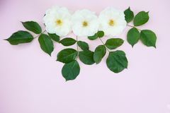 White roses on pastel pink background with copy space. Flat lay, top view. greeting card stock photography