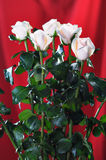 White roses. Stock Images