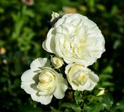 White roses in a rosebush. Closeup with sun light, garden in a public park. stock images