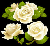 White roses set. Vector white roses with dew on petals set Stock Photo