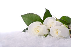 White roses in the snow Royalty Free Stock Photo
