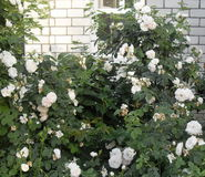 White roses. In a stone wall Royalty Free Stock Images