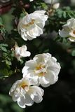 White roses. In a sunny day Stock Photos