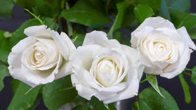 White roses. Three flower heads Stock Photos