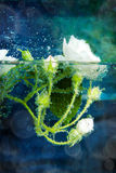 White roses under water with bubbles Stock Photos