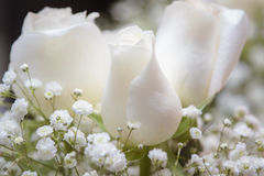 White roses up close Stock Images