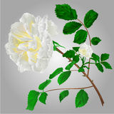 White roses vector. Rose white flower stem with leaves and blossoms vector illustration Stock Image