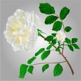 White roses vector Stock Image