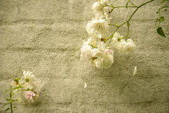 White roses on a wall Royalty Free Stock Images