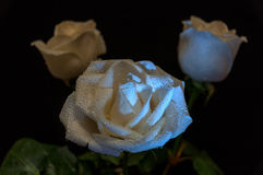 White roses water drops Royalty Free Stock Photography
