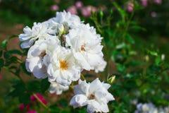 White rosesin garden Royalty Free Stock Image