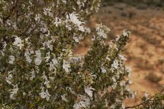 White Rosmarinus Officinalis plant. In the garden in spring Royalty Free Stock Photos