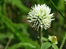 White round species flower trifolium montanum stock image