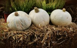 White Round Vegetable Piled on Hay Near Green Leaf Plant Stock Image