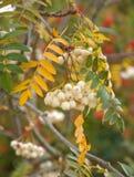 White rowan berries Stock Photo