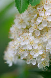 White Rowan Flowers Close-Up Stock Photos