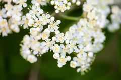 White rowan flowers. White flowers of the rowan tree. Close up Stock Photography