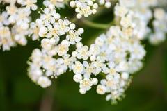White rowan flowers Stock Photography