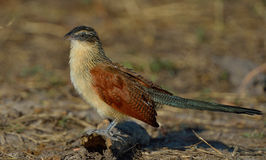 White-rowed Coucal royalty free stock photos