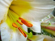 White royal lily - Lilium regale Royalty Free Stock Images