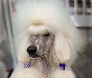 White royal poodle. On a blurred background Stock Photos