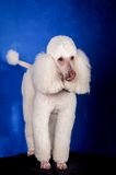White Royal poodle on blue Royalty Free Stock Images