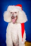 White Royal poodle on blue Stock Image