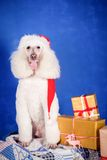 White Royal poodle on blue Royalty Free Stock Photos