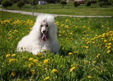White Royal poodle dog lying on the green grass. In a park Royalty Free Stock Photo