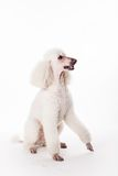 White Royal poodle on white Stock Photo