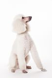 White Royal poodle on white Royalty Free Stock Images