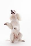 White Royal poodle on white Royalty Free Stock Photos