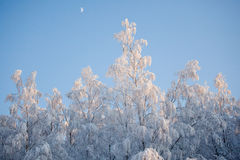 White rtrees in snow Royalty Free Stock Photo