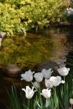 White ruffled tulips beside a pool Stock Photo