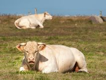 A white ruminating cow laying on a meadow royalty free stock image