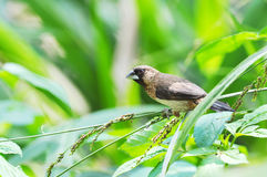 White-rumped Munia. Is approximately 10 to 11 cm in length, with a stubby grey bill and a long black pointed tail Royalty Free Stock Photos