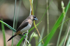 White-rumped Munia Stock Image