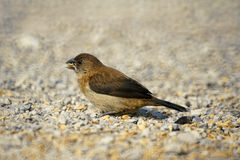 White-rumped Munia Royalty Free Stock Photos