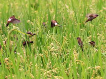 White-rumped Munia Royalty Free Stock Photography