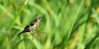 White-rumped Munia Royalty Free Stock Images